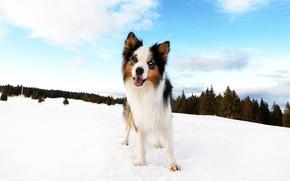 Картинка зима, лес, облака, снег, синева, собака, щенок, бордер-колли
