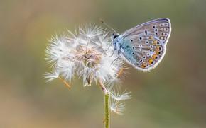 Картинка одуванчик, бабочка, полиомматус