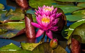 Картинка листья, цветы, озеро, пруд, розовые, водяные лилии, водоем, нимфеи