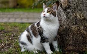 Картинка кошка, трава, кот, взгляд, природа, поза, дерево, поляна, мордочка, ствол, кора, сидит, бело-серая, пятнистая, толстушка