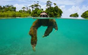 Картинка млекопитающее, Панама, остров Эскудо де Верагуас, карликовый ленивец