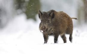 Картинка зима, снег, природа, фон, сугробы, прогулка, кабан, снегопад, кабанчик, свин, свинтус