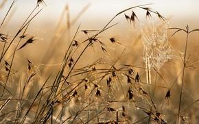 Картинка поле, трава, роса, паутина, утро, колоски
