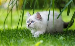 Картинка кошка, трава, листья, котёнок, голубые глаза, Бирманская кошка