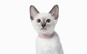 Картинка кошка, взгляд, мордочка, голубые глаза