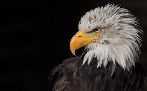 Картинка взгляд, птица, орел, портрет, черный фон, хищная, белоголовый орлан