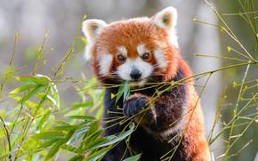 Картинка взгляд, морда, листья, ветки, поза, лапа, портрет, красная панда, обед, малая панда, трапеза