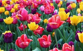 Картинка тюльпаны, разноцветный, цветение.