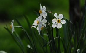Картинка цветы, весна, белые, зеленый фон, нарциссы