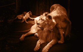 Картинка любовь, поза, уют, темнота, темный фон, лев, семья, сепия, двор, пара, лежит, ласка, львы, львята, …