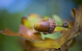 Картинка листья, leaves, желудь, Jacky Parker, acorn
