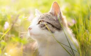 Картинка кошка, трава, кот, взгляд, морда, свет, цветы, природа, портрет, луг, белая с серым