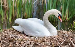 Картинка белый, птица, гнездо, сено, солома, лебедь