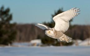 Картинка зима, снег, полет, природа, сова, птица, крылья, летит, полярная, полярная сова, летящая
