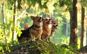 Картинка лес, собаки, трио, вельш-корги