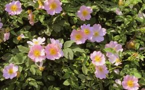 Картинка цветы, шиповник, весна 2018, Mamala ©