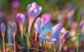 Картинка свет, поляна, красота, весна, крокусы, розовые, бутоны