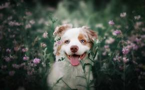 Картинка зелень, язык, лето, взгляд, морда, цветы, природа, портрет, собака, размытие, луг, щенок, клевер, голубые глаза, …