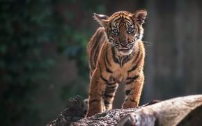 Обои язык, взгляд, морда, природа, тигр, поза, темный фон, лапы, малыш, милый, стоит, дикая кошка, тигренок, ...