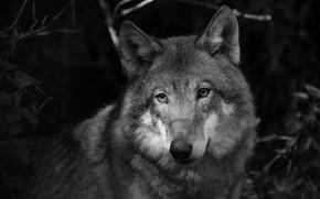 Картинка взгляд, морда, серый, волк, портрет, черно-белое, монохром