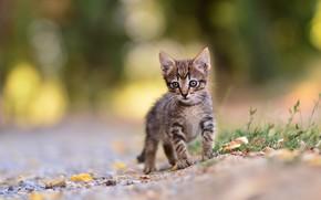 Картинка кошка, природа, котенок, серый, малыш, мордочка, прогулка, котёнок, полосатый