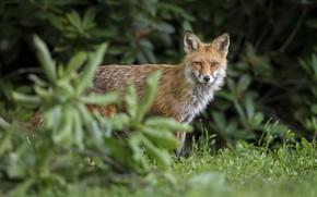 Картинка взгляд, мордочка, лисица, animal