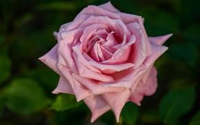 Картинка цветок, листья, розовая, роза, бутон, одна