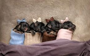 Картинка животные, щенки, бантики, щенята, детёныши, Екатерина Кикоть