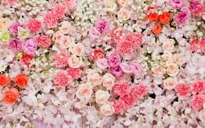 Картинка цветы, фон, розы, colorful, розовые, white, белые, бутоны, pink, flowers, roses, bud