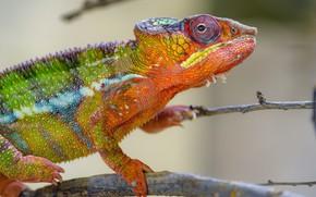 Картинка ветки, хамелеон, рептилия, радужный, яркий окрас