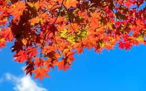 Картинка осень, листья, дерево, colorful, клен, autumn, leaves, осенние, maple
