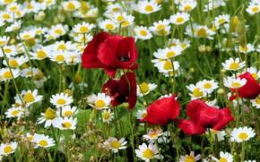 Картинка цветы, красные, белые, поляна, ромашки, мак, луг, поле, маки, лето