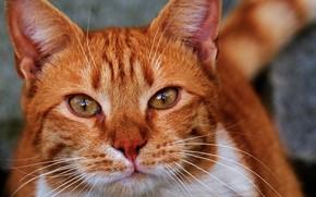 Картинка кот, взгляд, крупный план, портрет, рыжий, мордочка, котейка