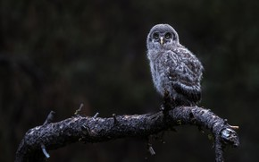 Картинка взгляд, природа, темный фон, сова, птица, ветка, птенец, совенок