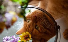 Картинка кошка, глаза, кот, взгляд, морда, цветы, отражение, портрет, лапы, зеркало, рыжий, боке, смотрится в зеркало