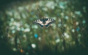 Картинка макро, темный фон, бабочка, колоски, насекомое, боке, махаон