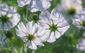 Картинка свет, цветы, белые, космеи