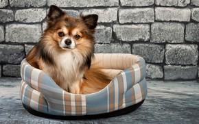 Картинка глаза, стена, собака, чихуахуа