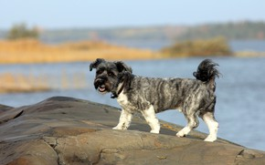 Картинка взгляд, камни, берег, собака, прогулка, собачка, водоем, кучерявая, собачонок