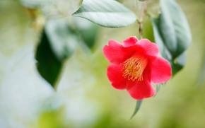 Картинка цветок, листья, зеленый, фон, размытие, красная, алая, боке, камелия