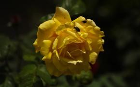 Картинка цветок, листья, темный фон, роза, жук, сад, желтая, боке