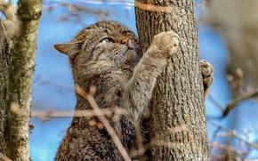 Картинка ветки, дерево, лапы, на дереве, Дикая кошка, Лесной кот