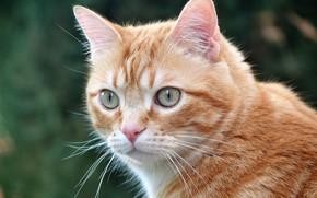 Картинка кошка, взгляд, портрет, мордочка, рыжая