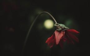Картинка цветок, макро, красный, темный фон, лягушка, лепестки, стебель, сидит, зеленая, боке, на цветке