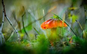 Картинка зелень, осень, трава, ветки, природа, гриб, размытие, боке, оранжевая шляпка
