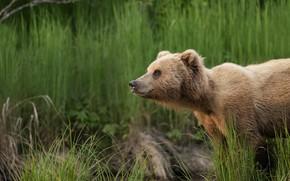 Картинка трава, взгляд, река, медведь, медвежонок, водоем, бурый