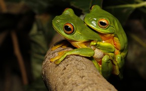 Картинка эротика, макро, любовь, две, лягушка, ветка, зеленые, пара, лягушки, парочка, секс, квакша, спаривание, две лягушки