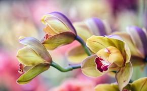 Картинка цветы, размытие, желтые, лепестки, орхидеи, бутоны