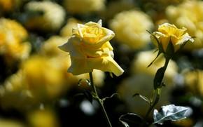 Картинка свет, цветы, стебли, роза, розы, размытие, сад, парочка, дуэт, бутоны, боке, розовый куст