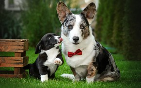 Картинка собаки, трава, взгляд, газон, щенок, ящик, мордашка, галстук-бабочка, Екатерина Кикоть, Вельш-корги-кардиган